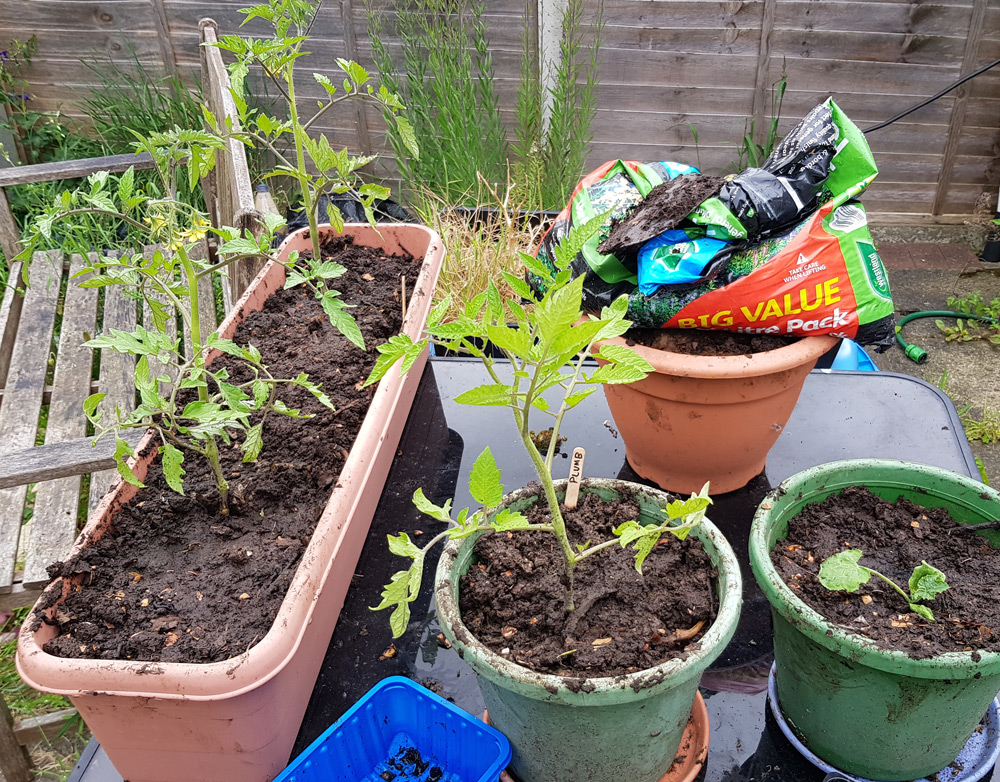 Young tomato and courgette plants in pots