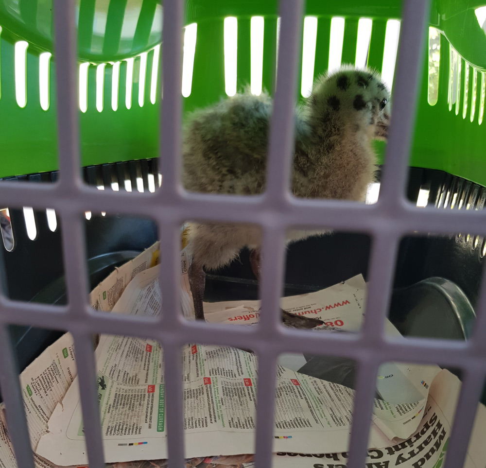 Baby seagull in cat carrier