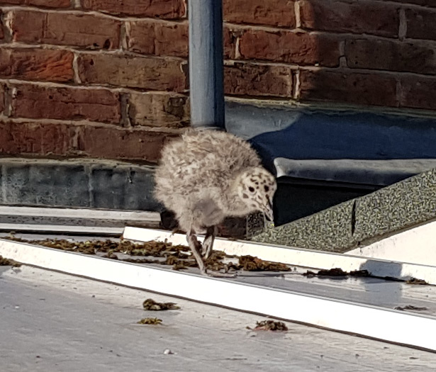 Baby seagull on roof